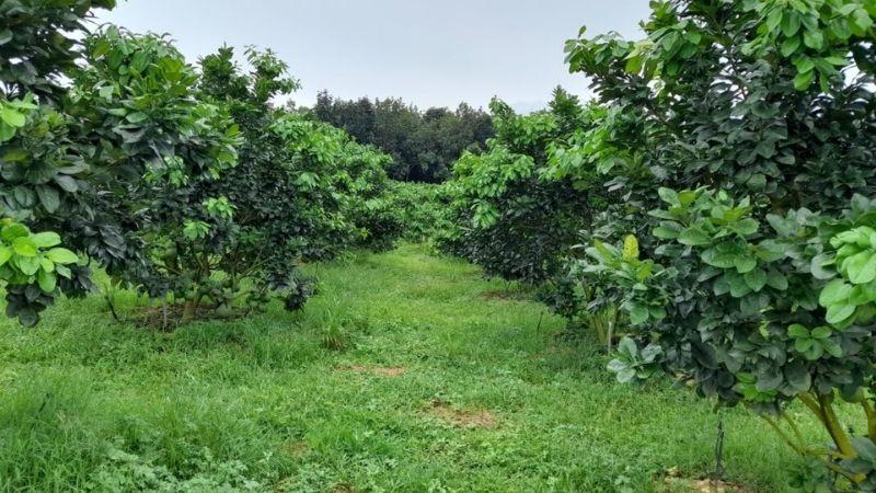 Việc hái lá nhiều sẽ có hại cho sự ra hoa, kết trái của cây bưởi