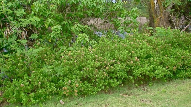 Cúc tần - loại cây bụi dễ sống