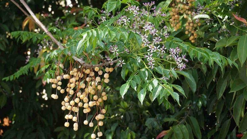 Xoan thường được trồng để lấy gỗ vì khả năng chống mối mọt