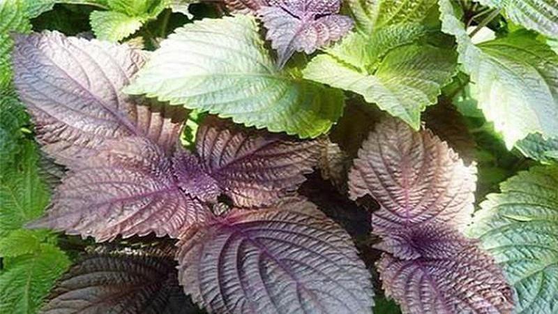 Tía tô là một loại thảo dược mọc hoang thuộc họ Bạc hà